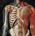 Human body with skeletal view